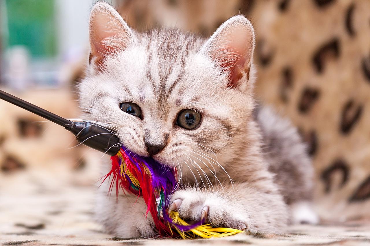 Rola zabawki w życiu kota